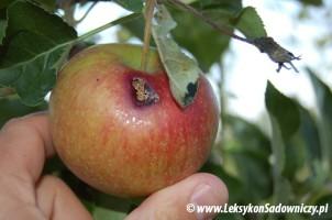 owocówka jabłkóweczka