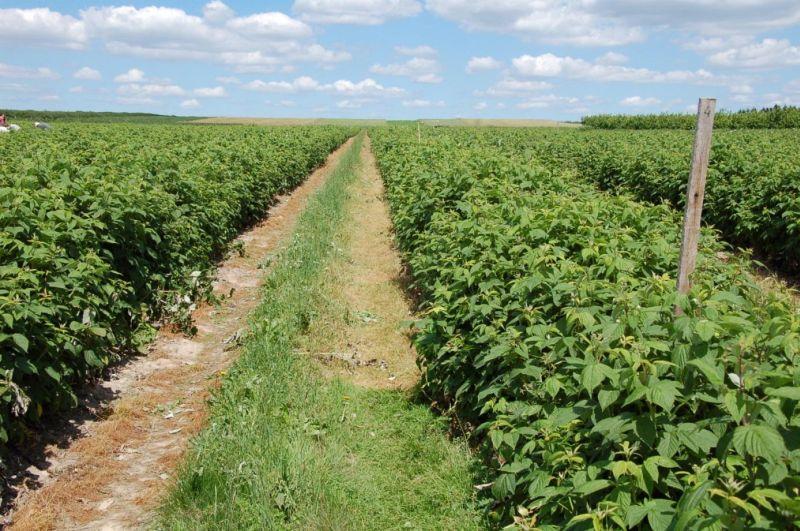 plantacja maliny odm. 'Polana'