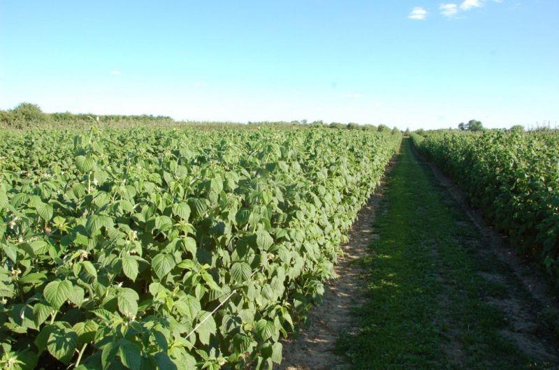 plantacja maliny odm. 'pokusa'
