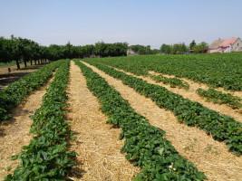Ściółkowanie plantacji to zabieg ograniczający porażenie owoców przez szarą pleśń i skórzastą zgniliznę.