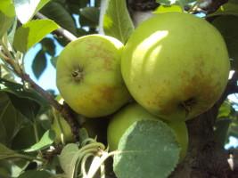 Przyczyny ordzawień na skórce owoców moga być różne, ale niejednokrotnie jest to skutek żerowania pordzewiaczy