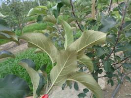 W lipcu, sierpniu objawy żerowania pordzewiaczy są widoczne gołym okiem (charakterystyczne brązowe liście od spodu)