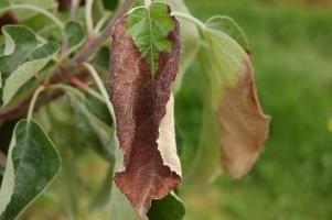 Niedobór potasu widoczny na liściach