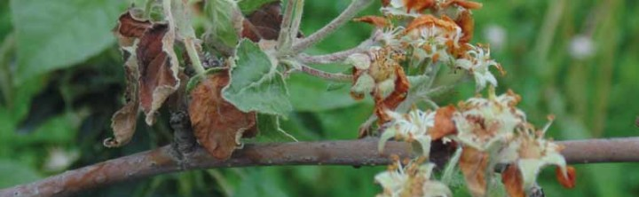 Największe zagrożenie chorobą występuje w okresie kwitnienia i wzrostu pędów.