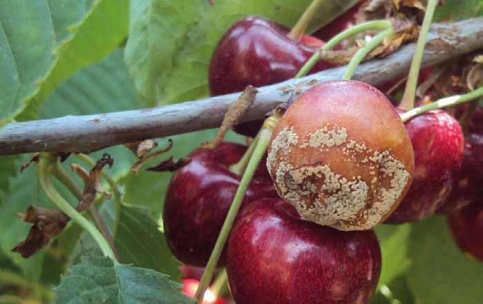 Brunatna zgnilizna drzew pestkowych na owocach