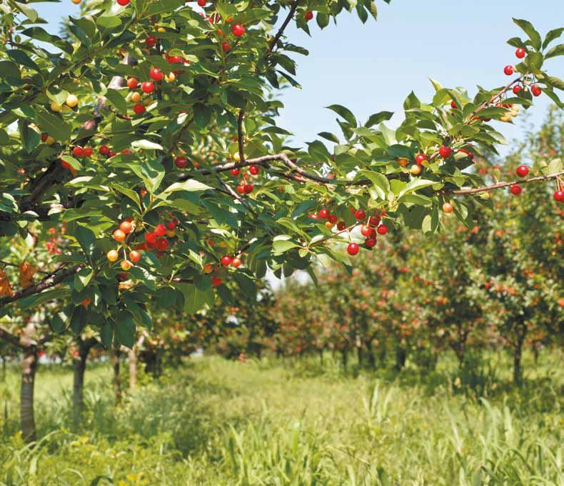 Zabiegi ochrony są konieczne takżepo zbiorach owoców. W kwaterach wiśnii czereśni, w których porażenie liściprzekroczy 10%, należy wykonać kolejnezabiegi zwalczające.