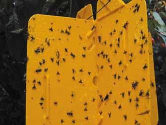 Monitoring szkodników, m.in. licinka tarninaczka