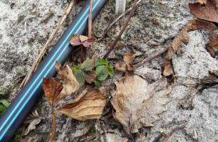 rośliny po zimie - uszkodzenia mrozowe (www.jagodnik.pl)