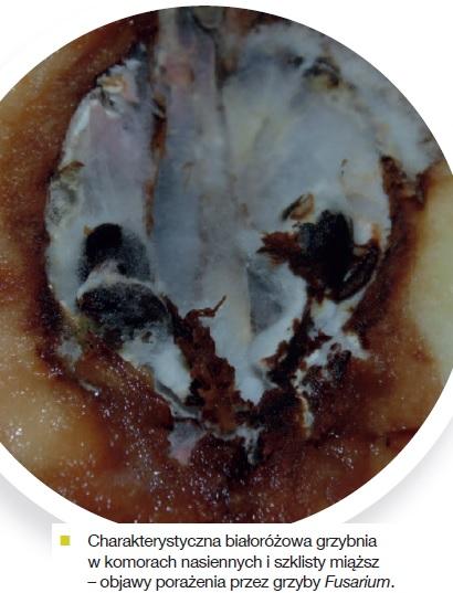 biallorozowa-grzybnia