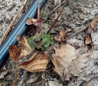 rosliny-po-zimie-uszkodzenia-mrozowe