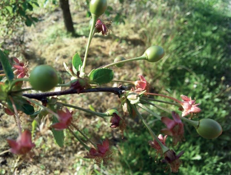 kwitnienie-wisni