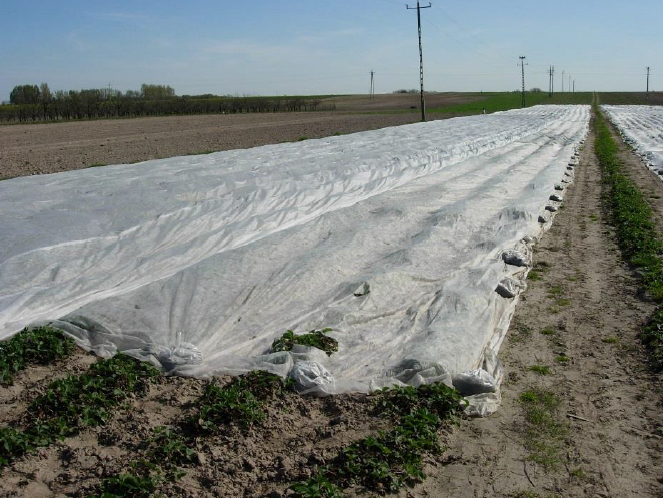 Wielu producentów przykrywa truskawki osłonami, co niestety przyspiesza wzrost i rozwój chwastów.