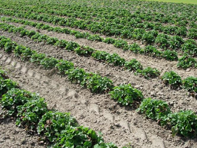 Czasami niezbędne są wiosną mechaniczne zabiegi odchwaszczające, przed aplikacją herbicydów.