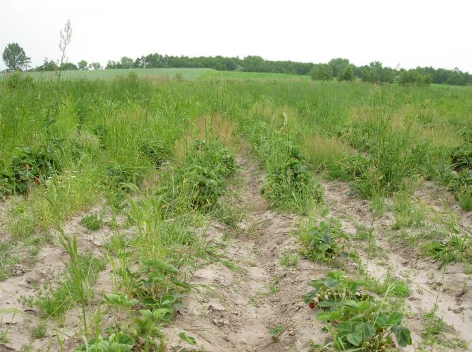 Niekontrolowany rozwój chwastów to jeden z czynników ograniczający plonowanie i pośrednio również jakość owoców.