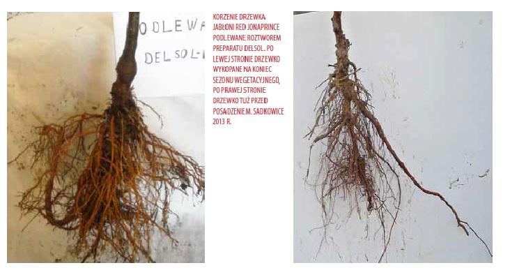 Po lewej stronie drzewko wykopane na koniec sezonu wegetacyjnego, po prawej stronie drzewko tuż przed posadzeniem.