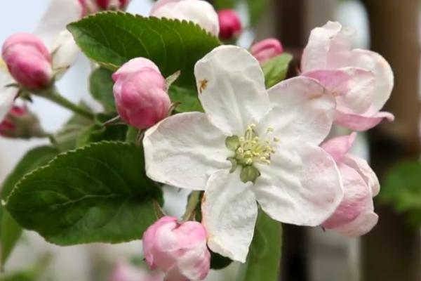 7dda35ba578df6 Komunikat sadowniczy z dnia 24.04.2019 - ochrona i regulacja podczas  kwitnienia - DoradztwoSadownicze
