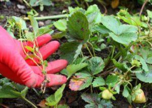 Chwasty w truskawce- zwalczanie