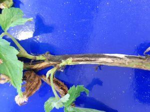 Symptomy porażenia P. syringae na pędach malin