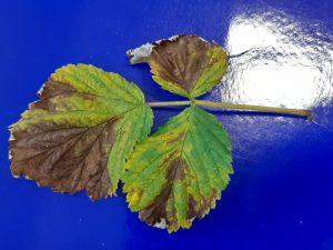 Objawy raka bakteryjnego na liściach