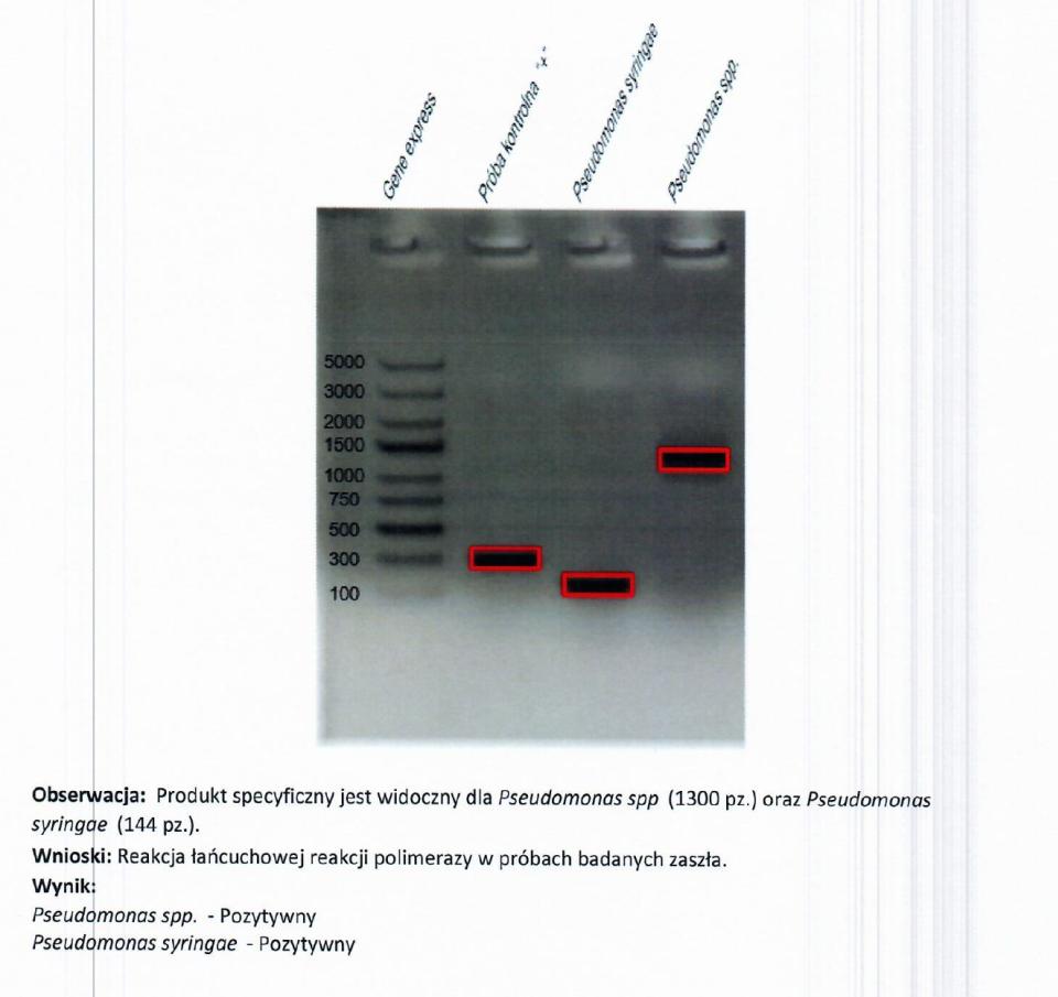 Badanie wykazujące obecność Pseudomonas syringae