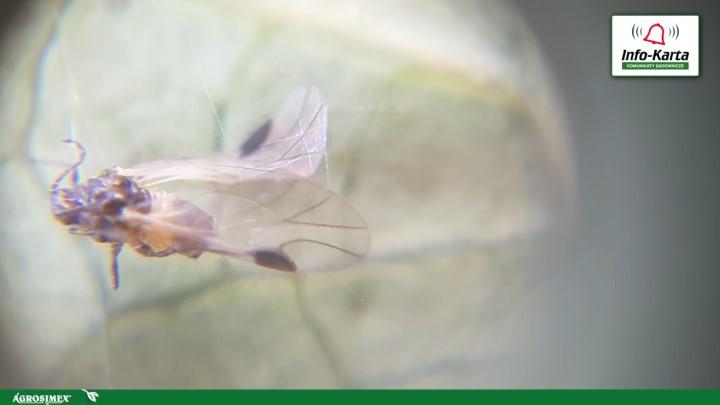 muszka plamoskrzydła Drosophila suzukii